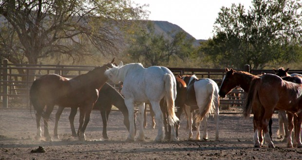 Arizona: Team cattle penning