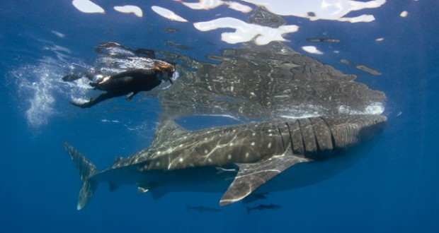 Mexico: Swimming with whale sharks