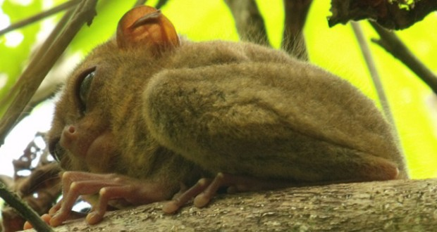 The Philippines: The Tarsier Man