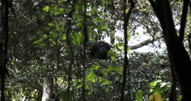 Rwanda: On the trail of chimpanzees