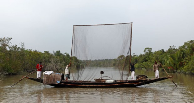 Otter fishing in the Sunderbans, Bangladesh.
