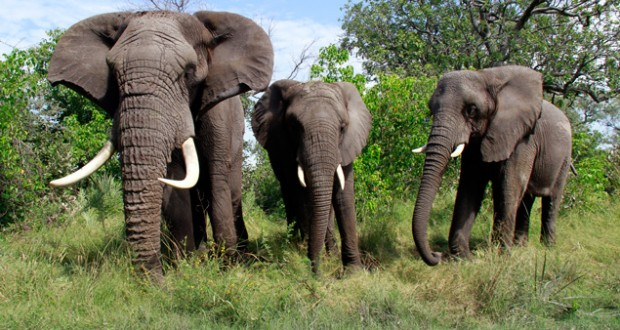 Walking with elephants - Jabu, Morula and Thembi the elephants