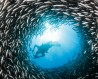 Schooling black-striped salema circle around diver. Image: Getty