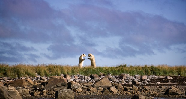 Two polar bears play fight on the shore of Hudson Bay. Image: Shaney Hudson