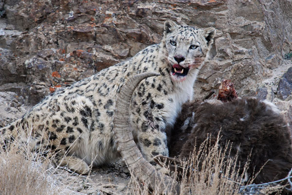 Ladakh: The elusive snow leopard