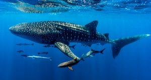 Ningaloo Reef: Diving with giants
