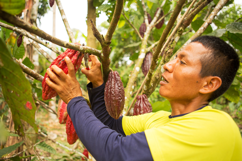 Harvesting cacao pods in Ecuador