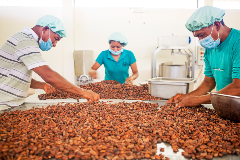 Workers sort fermented and dried cacao