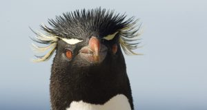 Falkland Islands: Meet a British penguin