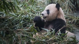 Giant panda at the Dujiangyan Panda Base, China. Image: Duncan Longden