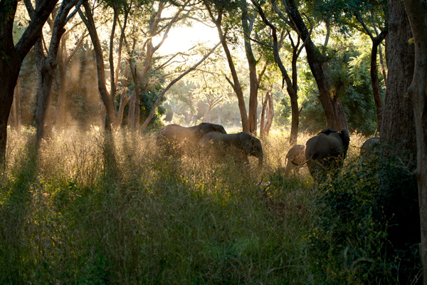 Zambia Safari: herd of elephants in woodland, Lower Zambezi National Park