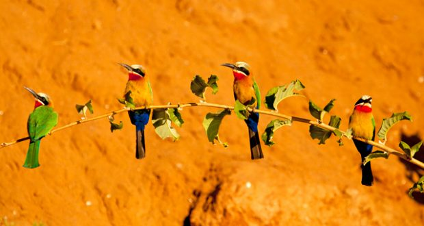 Colony of white-fronted bee-eaters on the bank of the Chongwe River, Lower Zambezi National Park. Image: Emma Gregg