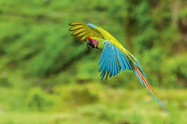 A parrot flies through the rainforest. Image: Getty