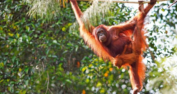 Pongo the orangutan with young in Semenggoh. Image: Alamy
