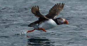 Arctic Norway: An improbability of puffins