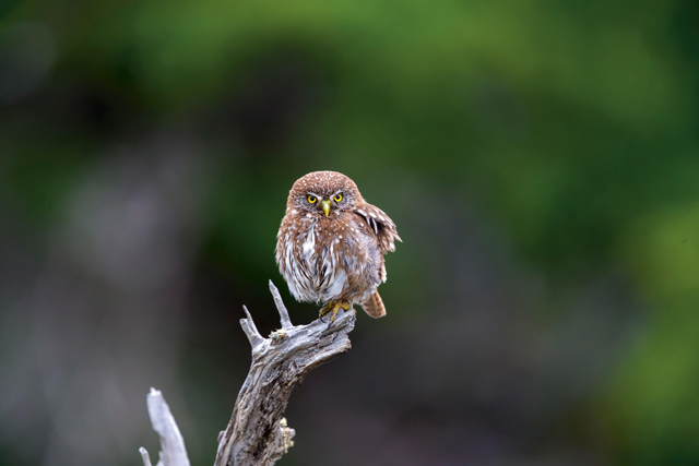 Austral pygmy owl. Credit: Getty