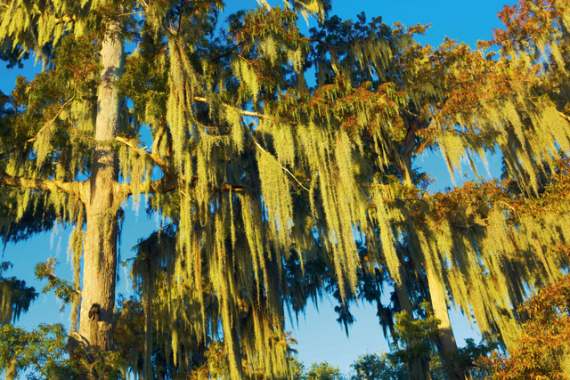 Spanish moss-covered bald cypress trees, Lake Palourde, Atchafalaya Swamp. Credit: Aaron Millar