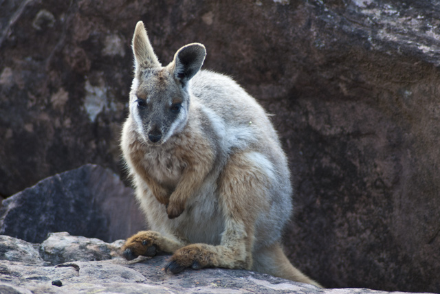 A rare yellow-footed rock wallaby. Image: Getty