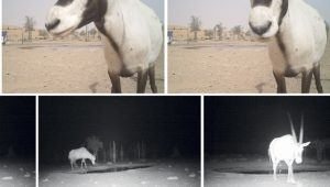 Camera trap photos of wildlife in the Dubai desert