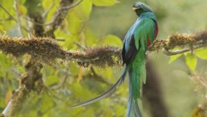 The quetzal. Image: Getty