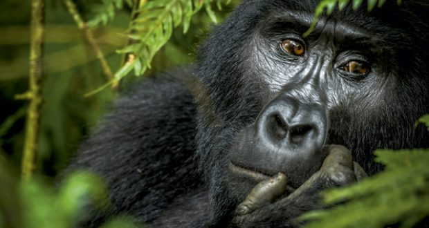 Uganda: Big beasts of the Impenetrable Park